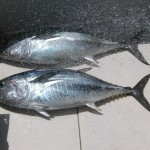 Atlantic Bluefin Tuna from the Maiden Creek Area