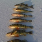 New York Yellow Perch through the Ice