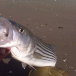 Jamaica Bay Striper Schoolie-Check Those Stripes!