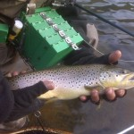 Beaverkill River Brown Trout