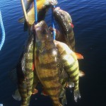 Kensico Reservior Yellow Perch Stringer