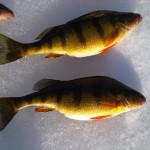 Westchester Yellow Perch