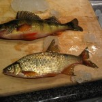Golden Shiner and Yellow Perch